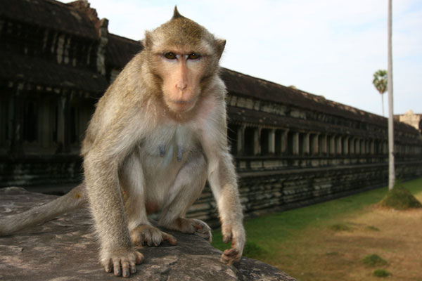 Beware the monkeys of Angkor!