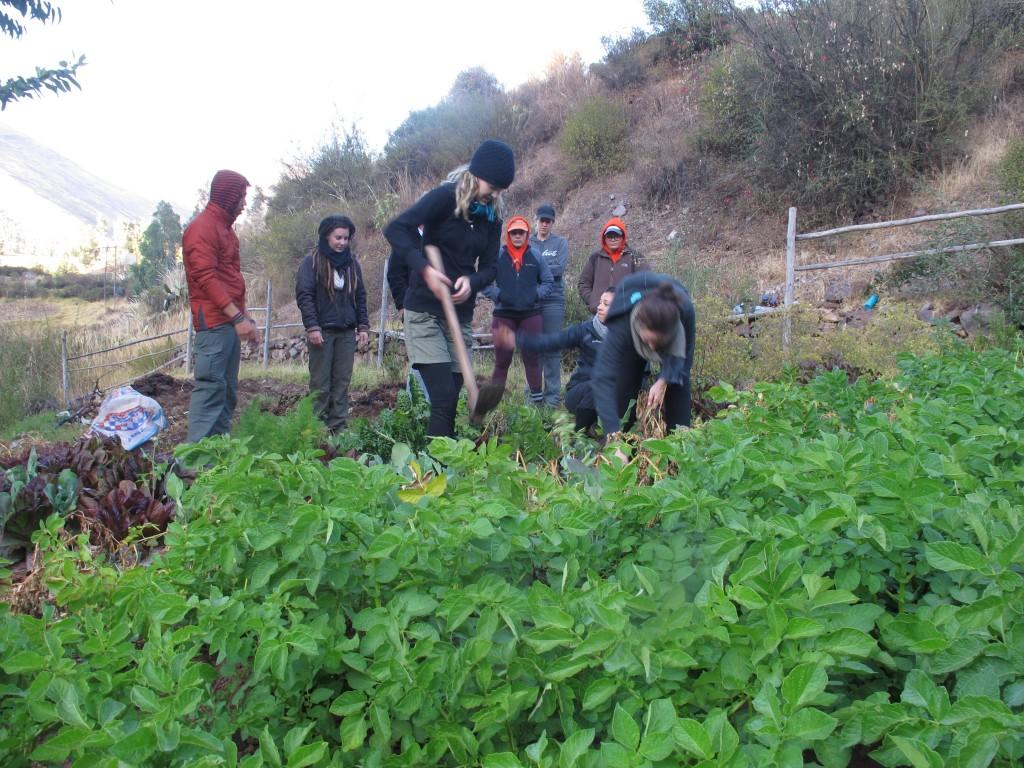 Harvesting organic potatoes
