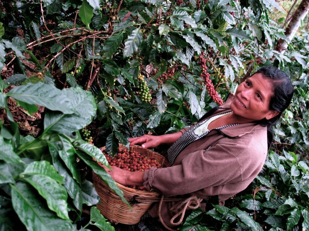 Picking Coffee in Guatemala