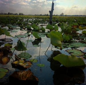 Lilly pads of Banteay Chhmar