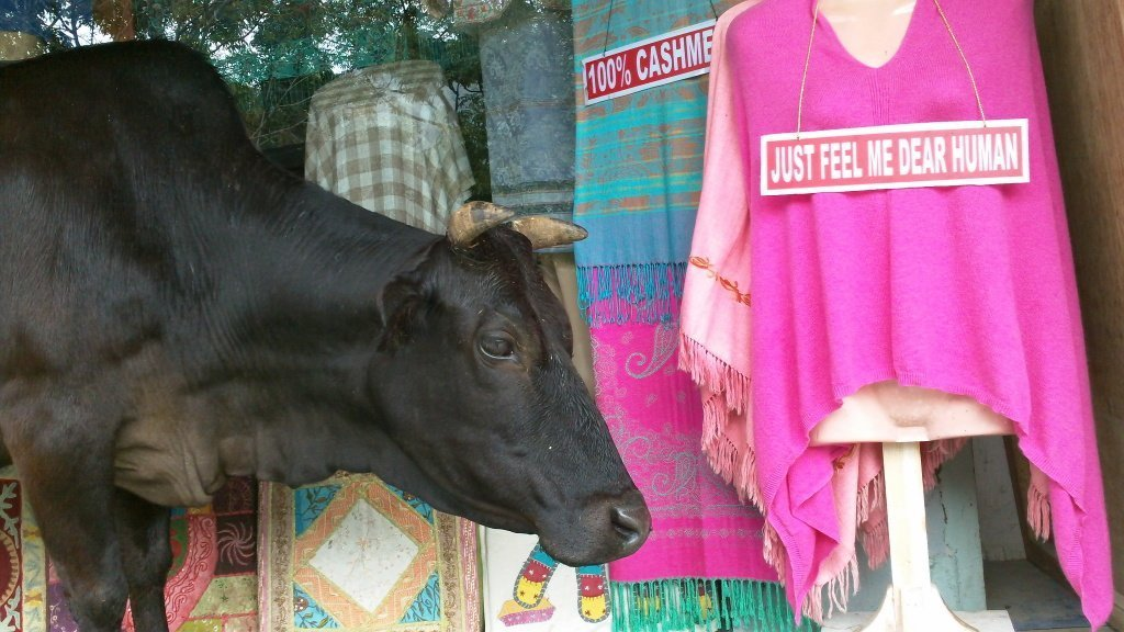 Cow in India